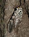 Giant Leopard Moth - Hypercompe scribonia - male