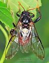 Unknown - Cimbex americanus