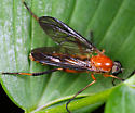 Fly ID - Dialysis rufithorax - male