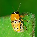 beetle - Griburius larvatus