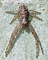Arachnid UID 1 - Tmarus