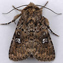 Unknown Noctuid - Properigea albimacula