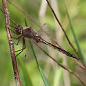 dragonfly:  possible  common baskettail? - Epitheca