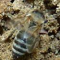 Unidentified bee - Apis mellifera