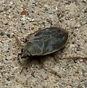 Strange Bug - Belostoma