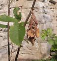 Cocoon on running serviceberry - Thyridopteryx ephemeraeformis