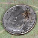 Small Lasioglossum (Dialictus) Sweat Bee - Lasioglossum - female