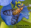 Poecilognathus sp.? - Poecilognathus - female