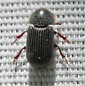 beetle 5mm - Martineziana dutertrei