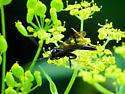 wasp - Exetastes suaveolens