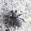 Doorstep Weevil - Otiorhynchus sulcatus