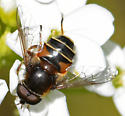 banded fly - Syrphiid? Bee fly? - Eristalis cryptarum