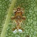 Tingidae: Corythucha cydoniae? - Corythucha bellula