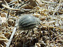 Beetle ID request! Fuzzy Beetle in Kelso Dunes near Mojave Desert - Edrotes ventricosus