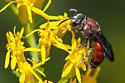 Specodes sp? - Sphecodes heraclei - female
