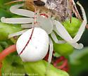 white spider eating a skipper - Misumena vatia
