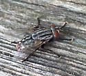 Sarcophagidae sp