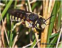 Bee - Anthidium oblongatum
