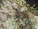 Looks a lot like A. bicentenarius, but west coast - Araneus