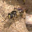 Fly - Teuchocnemis lituratus