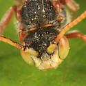 Cuckoo Bee - Nomada