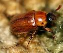 Fairly large beetle - Cyclocephala