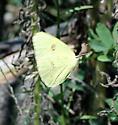 Cloudless Sulphur - Phoebis sennae - female