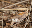 Oak Leaf Grasshopper - Tomonotus ferruginosus - male