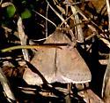 unknown moth - Caenurgia chloropha