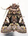Colorful tufted moth - Behrensia conchiformis