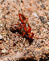 Tiny red wasp - Diploplectron - female