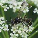 Sand Wasp - Gorytes