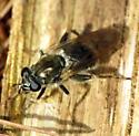 Unknown fly - Brachypalpus oarus - female