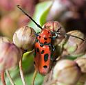 Red Milkweed Beetle - Tetraopes tetrophthalmus - Tetraopes tetrophthalmus