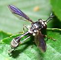 Physocephala - Physocephala tibialis