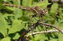 Dragonfly - Sympetrum corruptum