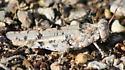 desert grasshopper - Cibolacris parviceps - female