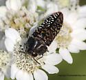 Buprestid Beetle - Acmaeodera haemorrhoa