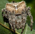 Cat Faced Spider?? - Araneus gemmoides