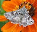 unknown moth on zinnias in my yard