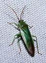 Blepharidopterus?