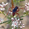 ID for a red wasp with blue wings? - Tachypompilus unicolor