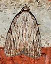 Three-lined Balsa - Balsa tristrigella
