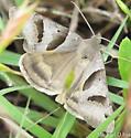 Butterfly - Caenurgina erechtea
