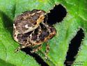 Lampyridae ? - Nedyus apicalis