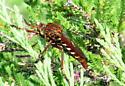 Brown mystery bug - Diogmites basalis