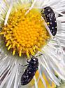 Beetles on fleabane - Acmaeodera tubulus
