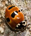 Two-spotted Lady Beetle, yet another colour variant - Adalia bipunctata