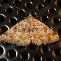 Tucson porchlight moth - Toxonprucha volucris
