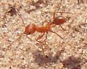 Orange Ant - Pogonomyrmex maricopa